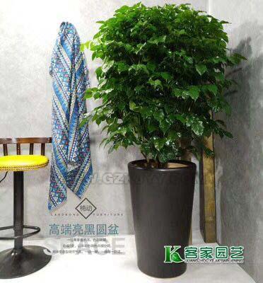 广州租花-幸福树