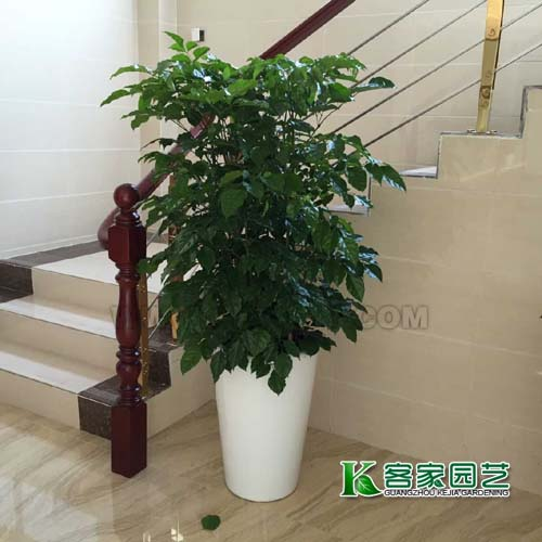 海珠区绿植租赁-幸福树