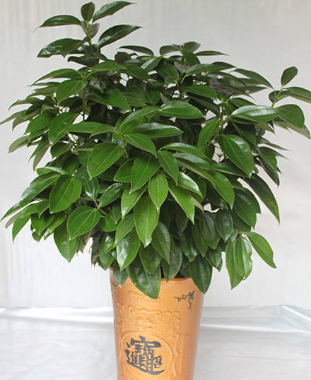 天河区植物租摆-平安树