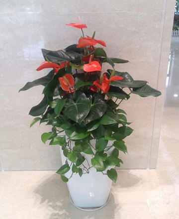 天河区植物出租-混搭红掌组合