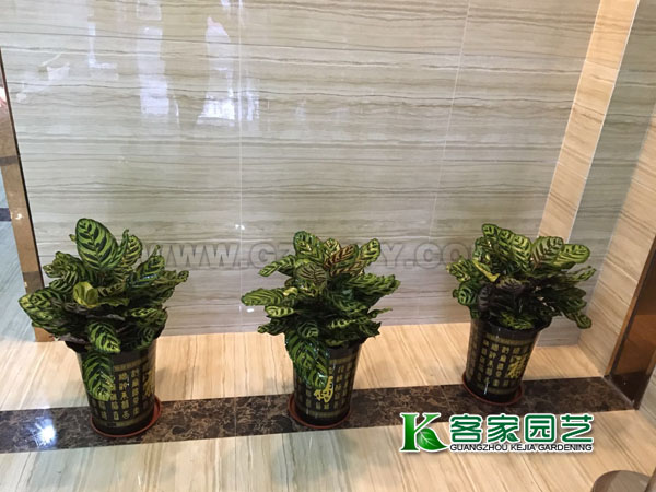 天河区租花-孔雀竹芋