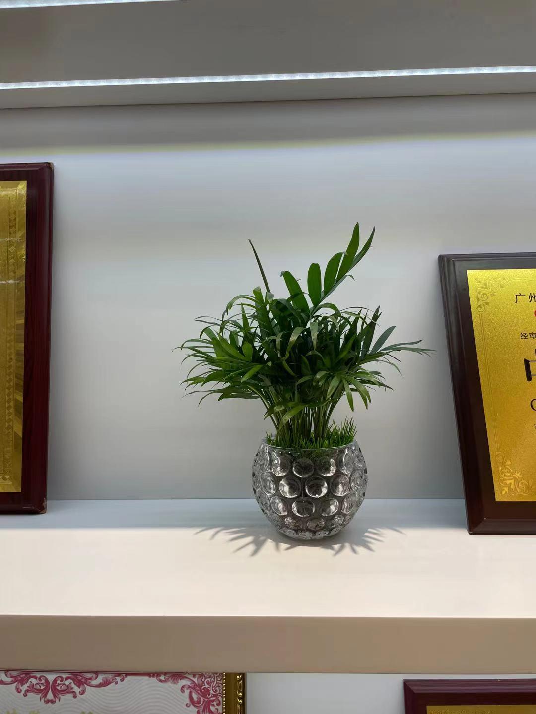 海珠区绿植租赁--迷你小椰竹子