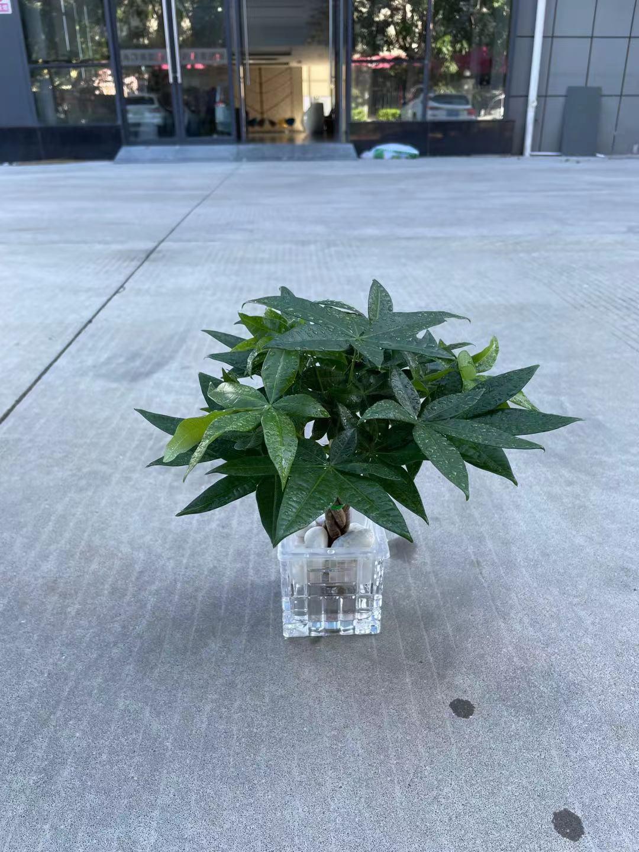 广州租花--迷你水培五遍发财树