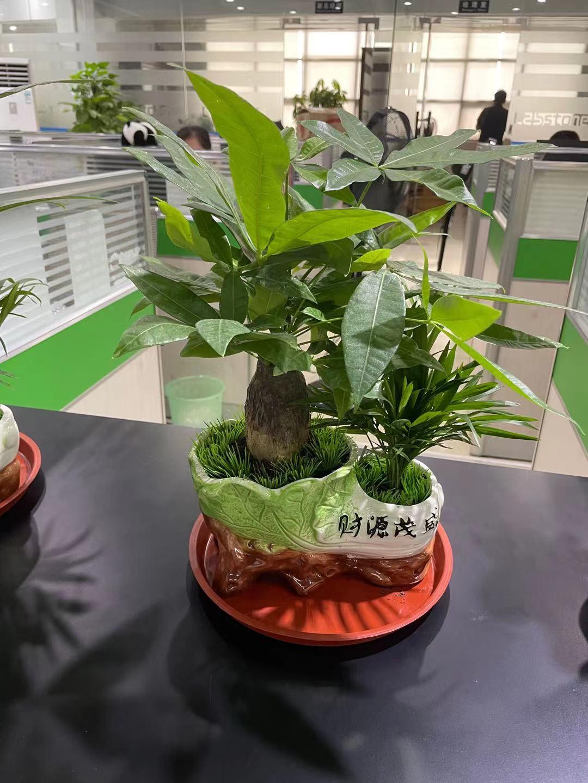 植物出租--台面小发财树组合2