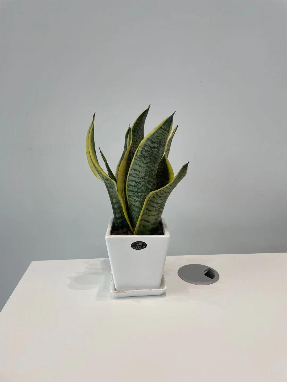 广州植物出租--台面小方盆虎皮兰